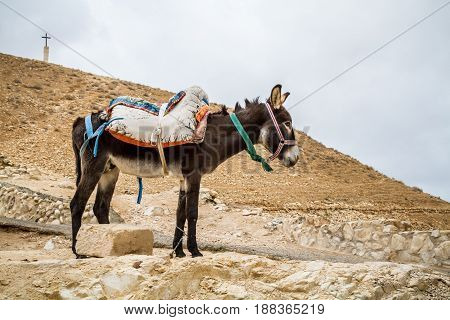 Brown saddled donkey stands in mountain area the Wadi Qelt in the north of the Judean Desert Israel