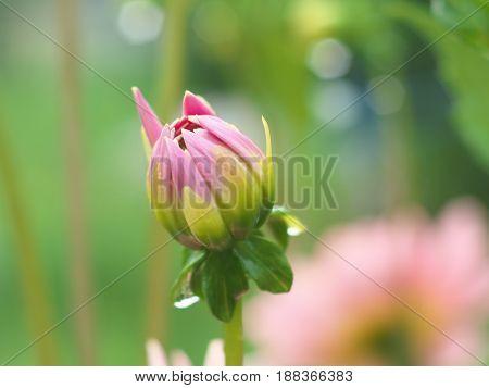 Pink Dahlia flower bud macro photo in summer garden soft focus.