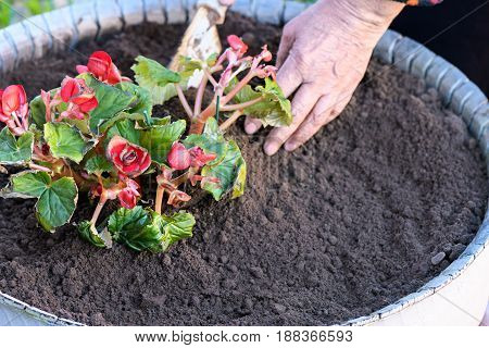 The Old Woman Takes Care Of The Affected Plant With A Small Shovel