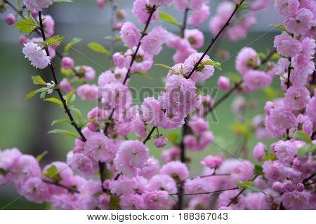 Tender Flowers Of Sakura Bloom On Tree Branch Outdoor