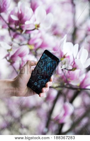hand of tourist photographing on smartphone blooming magnolia nature pink flower background weblog and communication social network and media