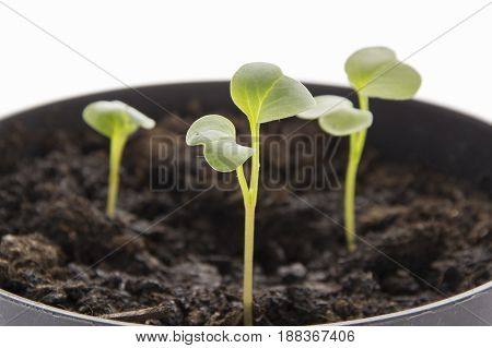 Red radish seedling ecological planting concept in organic farming