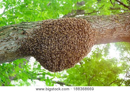 A swarm of honey bees clinging to a tree. Apiculture