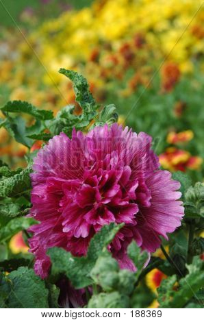 Hollyhock In A Garden