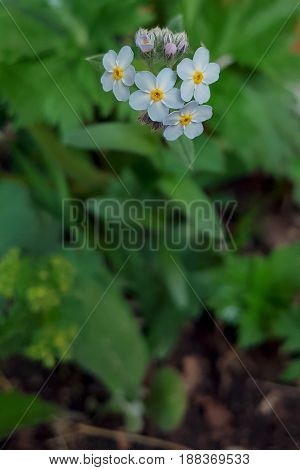 Forget-me-not flowers close up on a green grass background