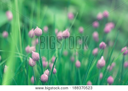 Ornamental onion chives in the open air. selective focus.