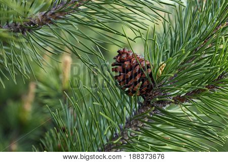Pine branch with cones in the forest