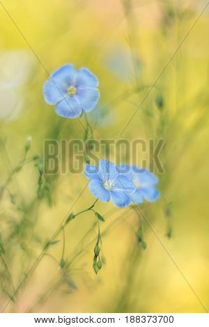 Delicate flax flowers on a beautiful background. Flax outdoors. Selective focus.