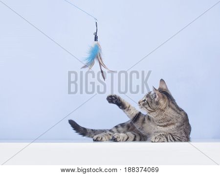 lazy cat plays with a feather toy