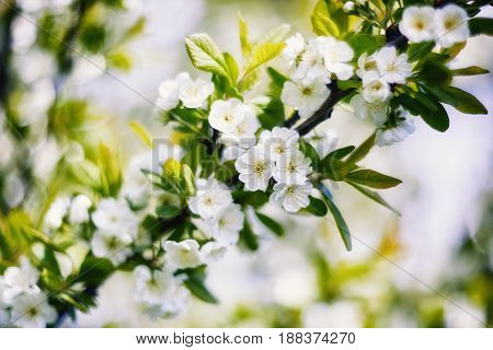 Flowering branch with delicate flowers young plum