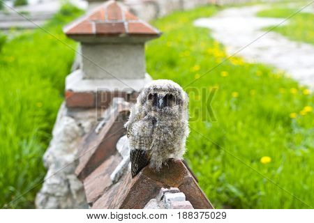 Not too small to be so angry bird. Just flying out of the nest, the owl looks angry at the tourists in Ryazan