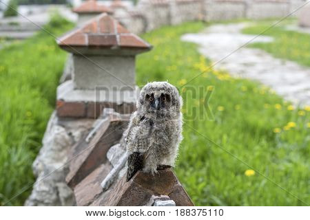 Owlet on the fence. Just flying out of the nest, the owl looks surprised at the tourists in Ryazan