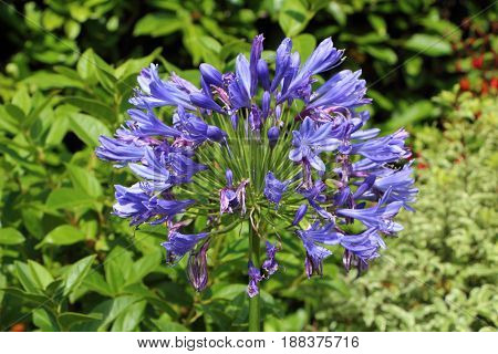 Close-up of Agapanthus flower in a garden