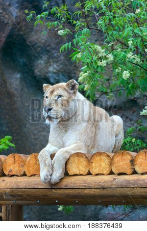 White lioness at the zoo lies under the flowering tree