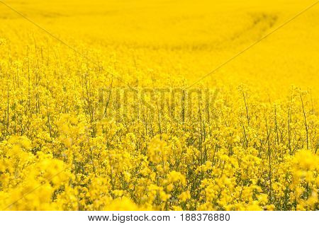 yellow Rapeseed field background. Field of bright yellow rapeseed in spring. Rapeseed, Brassica napus, oil seed rape