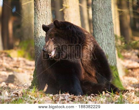 Portrait of Eurasian brown bear - Ursus arctos