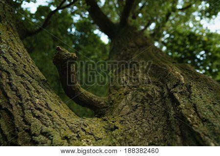 closeup old oak tree low angle shot, focus on trunk