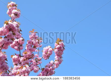 Spring pink cherry blossoms flowers Sakura season