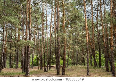 Background pine forest on the whole frame