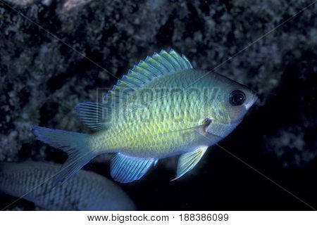 The Oval Chromis, (Chromis ovalis) is endemic to the islands of Hawaii