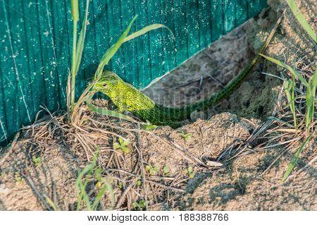 Beautiful magical green lizard in the spring on the sun macro