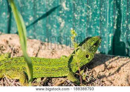 Beautiful magical green lizard in the spring on the sun close