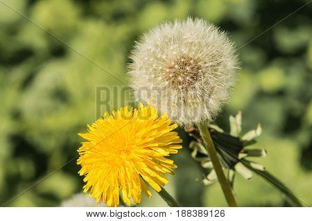 Yellow white dandelion macro on blurred green background.