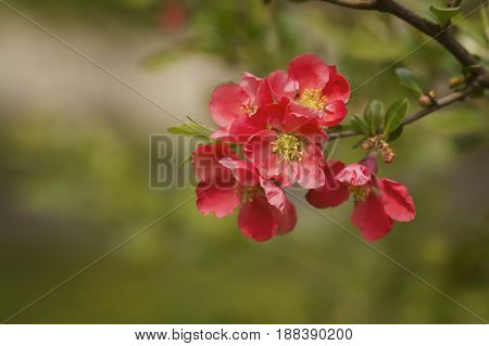 Chaenomeles japonica pink tree flowers Maule's quince Gutuiul japonez outdoor close up.