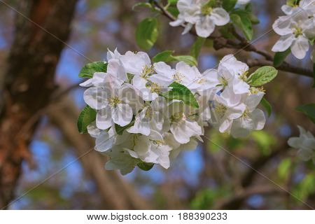 Closeup of apple tree blossoms in early May