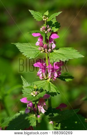 Blossoming dead nettle plant in the forest