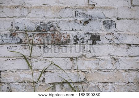 Fragment Of Whitewashed Old Brick Wall With Green Stalk Of Grass, Background