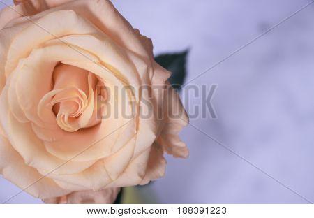 Rose. Beautiful yellow flower. Nature design. Macro.