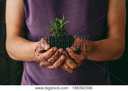 Fresh garden herbs. Gardener holding fresh parsley, close-up.