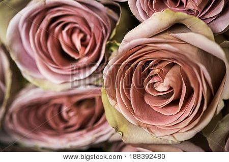 Bunch of fresh pink roses close up.