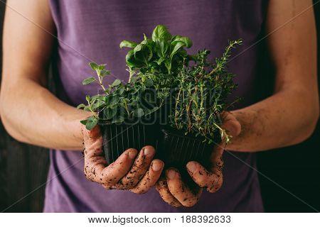 Fresh garden herbs. Gardener holding fresh oragano, basil and thyme, closeup.