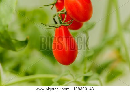 Vegetable garden with plants of red tomatoes.