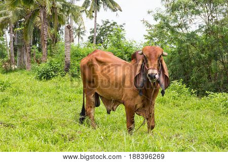 Cow grazing in field looking at camera.