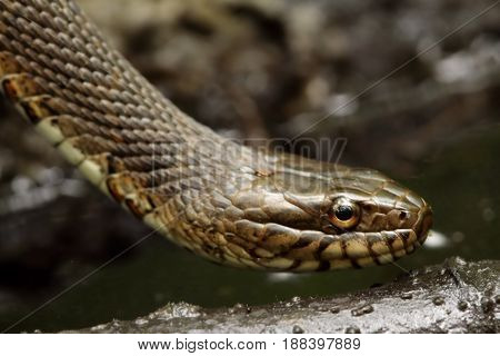 Northern Water Snake (nerodia sipedon) in spring