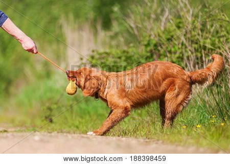 Nova Scotia Duck Tolling Retriever Outdoors