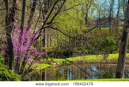 A spring redbud tree blooming by a small pond