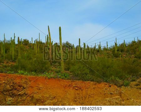 Landscape of Saguaro cactuses in the Arizona desert