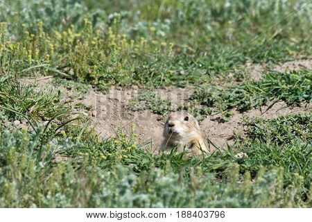 Close up of a black tailed prairie dog poking just its head out of the hole. Green grass surrounds the burrow. Shallow depth of field. Photographed in Prairie Dog Town, Montana.