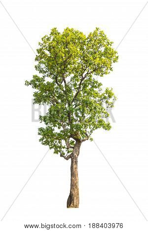 Tree Isolated, Tree On White Bacground, Tree Object.
