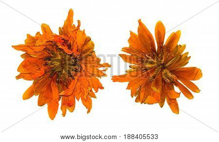Pressed and dried chrysanthemum flower isolated on white background. For use in scrapbooking floristry (oshibana) or herbarium.