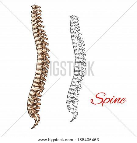 Human spine bones and backbone joints vector sketch body anatomy icon. Isolated symbol of spinal vertebra of skeleton structure for anatomical or medical surgery design