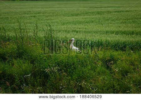 Stork standing on grass field. outdoor shot. ambient light. copy space.