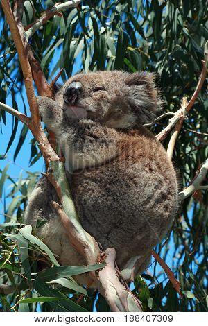 Koala Bear in the wild resting in the eucalyptus trees on Cape Otway in Victoria Australia