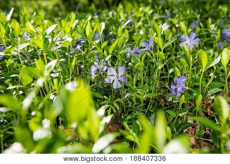 Blossoming  Vinca flowers growing in the forest