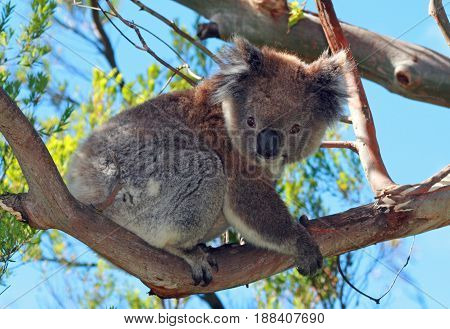Koala in the wild climbing in the eucalyptus trees on Cape Otway in Victoria Australia