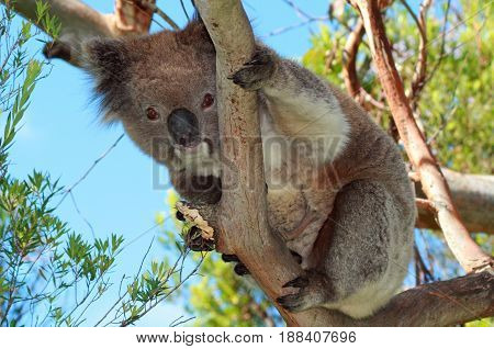 Koala Bear in the wild in the eucalyptus trees on Cape Otway in Victoria Australia